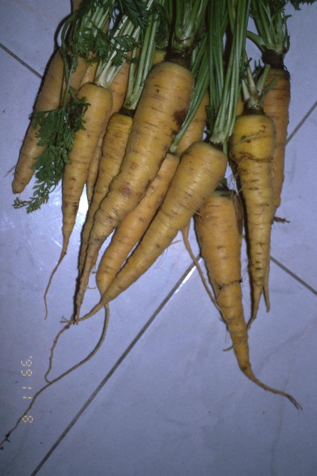 carota pastinocello