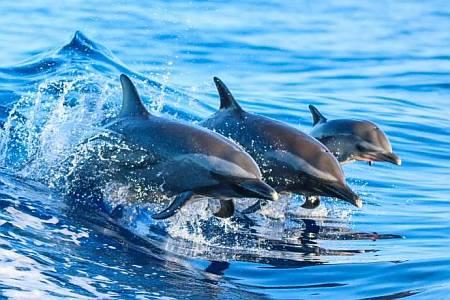 Studiare la distribuzione dei delfini: una chiave per futuri piani di conservazione?