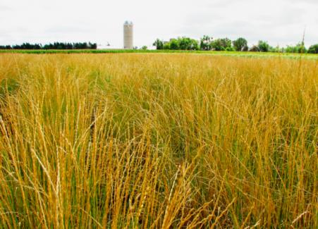 Kernza®: il grano perenne che sarà uno dei cibi del futuro