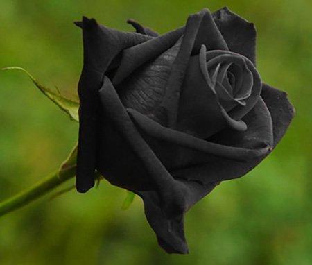 Rottura Di Vetro Significato.Rose Nere Quando Si Regalano E Quale Significato Viene Loro