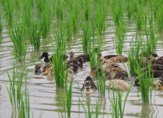 Le anatre come ausilio ecologico nella coltivazione del riso