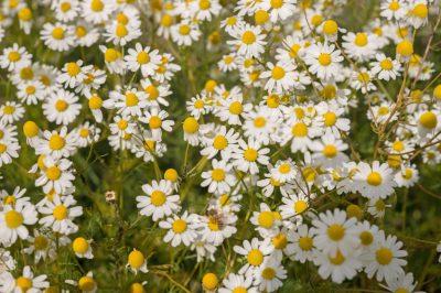 Coltivare la camomilla: consigli su terreno, cura e raccolta