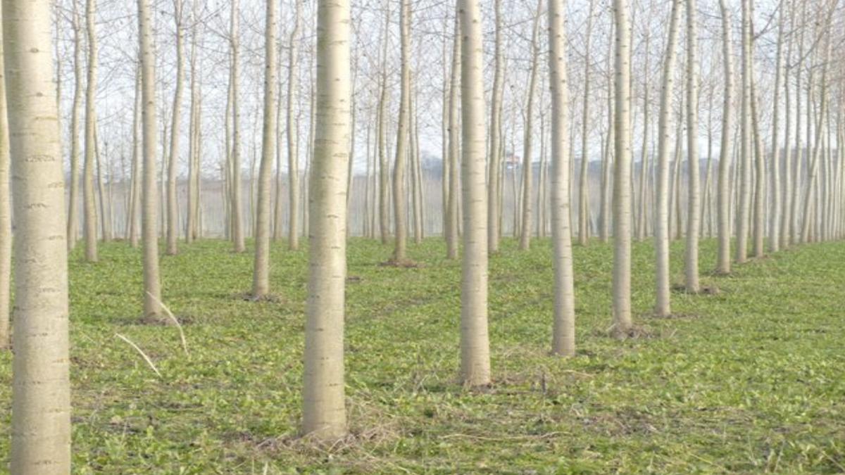Il Green Deal Europeo e il futuro delle coltivazioni di pioppo